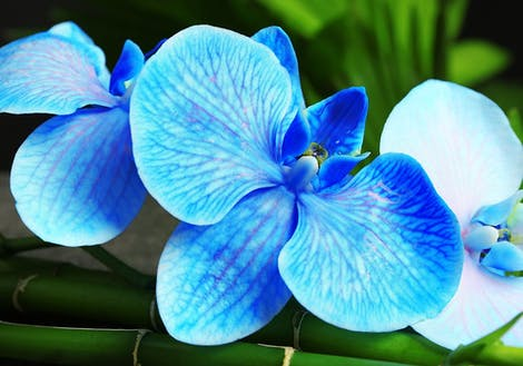 Photograph of blue orchids