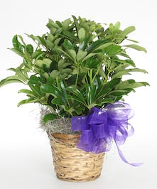 Versatile and easy care plant!