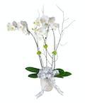 Amazing Grace Orchid
