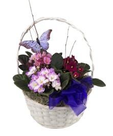 Delightful Violets