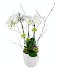 Triple Stem Phalaenopsis Orchid Plant