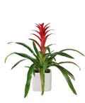 Stunning Bromeliad Plant