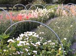 Three rows of immature flowers, covered with netting and several sprinkler arches, at Eden Roots Flower Farm